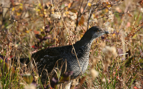 blue grouse hunting season wyoming