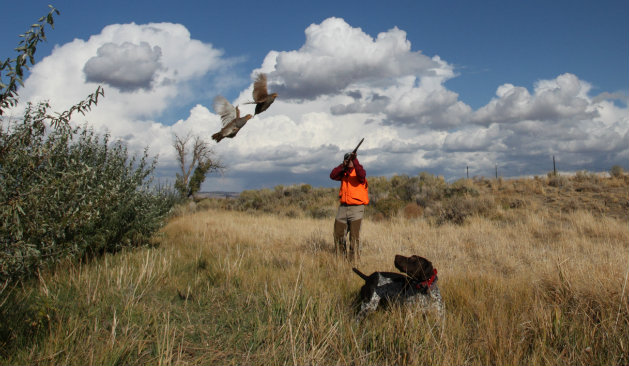 gray partridge hunting